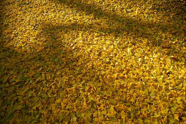 gingko-morningside.jpg